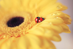 Gerbera (ElenAndreeva) Tags: autumn red beauty color light summer cute colors art dof insect canon pink garden top dream colorful composition sweet focus bug best amazing nature bokeh macro flower sun gerbera ledybug lovely love yellow