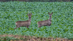 Junges Prchen - Young couple (ralfkai41) Tags: deers rehe outdoor animals wildlife tiere natur nature