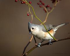Tufted Titmouse (CharlesHastings) Tags: birds niagarafalls wildlife tuftedtitmouse nature