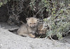 Chile (richard.mcmanus.) Tags: chile southamerica torresdelpaine animal foxes cubs kits foxcubs mcmanus wildlife greyfox