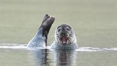 Harbour seal - Phoca vitulina - Landselur (*Jonina*) Tags: iceland ísland faskrudsfjordur fáskrúðsfjörður wildanimals villtdýr mammals spendýr harbourseal phocavitulina landselur jónínaguðrúnóskarsdóttir 500views 25faves 1000views 50faves