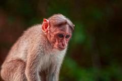Colours (Rajavelu1) Tags: monkey animalphotography animals nature beautyofnature art aroundtheworld creative canon6d canonef70200f4llens travel outdoorphotography colours bokeh sdof simplysuperb