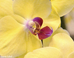 Fragility (Annette LeDuff) Tags: pink orchid flower macro yellow petals flora magenta exhibit orchidaceae bloom favorited paleyellow flowersforever perfectpetals exquisitedetails macroflowerlovers michiganorchidsociety madisonheightsmi mamasbloomers awesomeorchids floraaroundtheworld photoannetteleduff annetteleduff onlyorchids 04012012 thelooklevel1red thelooklevel2yellow thelooklevel3orange thelooklevel4purple ourwonderfulandfragileworld thelooklevel5green thelooklevel6blue
