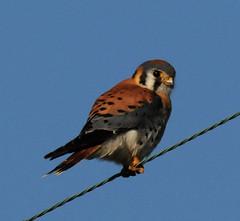 Kestrel (lanaganpm) Tags: birds americankestrel