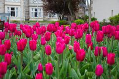 Tulips On The Street (BGDL) Tags: street tulips prestwick pubicgardens nikkor18105mm nikond7000 ourdailychallenge elementsorganizer
