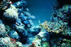 Fish in color (the aurelian) Tags: blue sea fish film coral analog aquarium saturated tank kodak reef yashica lynx oceanarium seaanemone seaurchin ektar gdynia ilovefish yashicalynx14e ozeanarium theaurelian postingthingsinpairs