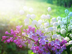 (Alin B.) Tags: morning summer sun sunlight flower nature sunshine lily fresh lilac sunbeam sunray sprin alinb