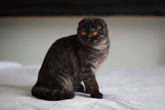 Lima (n8fire) Tags: black cat lima smoke scottish fold canonef135mmf2lusm canoneos5dmarkiii