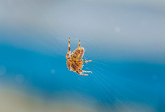 Spidey Hanging On (cahadikin) Tags: camera color macro nature insect lens photography spider nikon photos spiders web insects cameras micro spinning spidey 60mm nikkor lense d5100