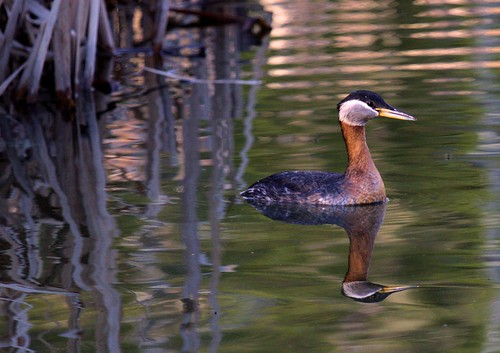 Red Necked Grebe Reflection