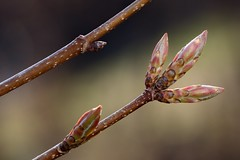 f1-20130507-0284 (Raphael Carter) Tags: tree maple buds