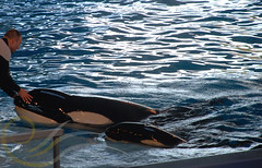 Takara and Sakari3 (GypsySkye7) Tags: sanantonio believe orca seaworld shamu takara killerwhale captivity sakari