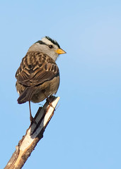 White-crowned Sparrow (Peter Bangayan) Tags: nature birds 1dmk2 backyardbirds wilidlife ef300mmf4lisusm