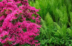 Pink and Green (There and back again) Tags: pink fern green somerset azalea greencombegardens