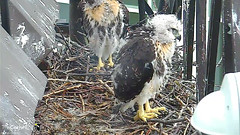 young hawk (Cornell Lab of Ornithology) Tags: bird nest cams cornell redtailedhawk nestlings labofornithology cornelllabofornithology