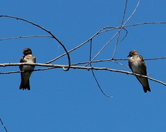 2013 05 25_3955_northern rough-winged swallows (nbc_2011) Tags: bird nature florida swallow animalplanet planetearth northernroughwingedswallow