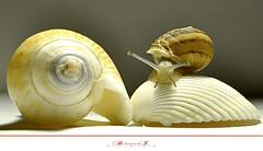 Snail (aniribe) Tags: color nikon shell snail greatphotographers mygearandme mygearandmepremium ringexcellence dblringexcellence