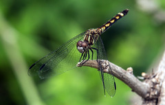 thornbush dasher  (robert salinas) Tags: dragonflies sigma odonata a57 hornsbybend