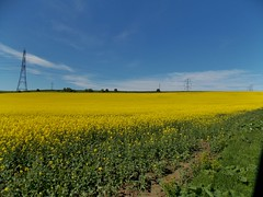 Rapeseed Field near the Village of Fairburn in West Yorkshire, England - May 2013