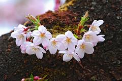 Cerasus yedoensis in Taiwan (photor432) Tags: roc taiwan  cherryblossom sakura   csh  kirschblte   krsbrsblom kersenbloesem flordecerejeira    fioridiciliegio  flordecerezo  fleurdecerisier hoaanho bungasakura  alishantownship    cerasusyedoensis cshblack432 cherrybunga