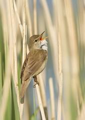 Reed Warbler (JRBarlow) Tags: wild bird reed photo warbler