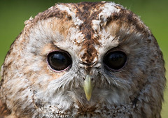 Tawny Owl (red i Photography) Tags: owl tawny