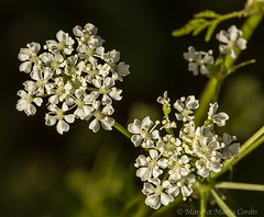 Poison hemlock white flowers