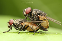 Common house fly mating (Anthony Kei C) Tags: diptera commonhousefly