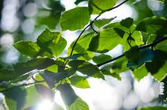 Leaves in the sun (S.B.Foto) Tags: sun leaves 50mm nikon nikkor blatt bltter d5100