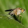 Poecilobothrus nobilitatus, Amazing colours (Elisabeth, Kelev, Tama, Mazal) Tags: nature female insect fly pond vijver vrouwtje poecilobothrusnobilitatus slankpootvlieg