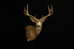 "Mule Deer Taxidermy • <a style=""font-size:0.8em;"" href=""http://www.flickr.com/photos/27376150@N03/9353409344/"" target=""_blank"">View on Flickr</a>"