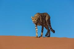 20130616_Namibia_Kiki_at_Dunes_0147.jpg (Bill Popik) Tags: africa kiki mammals namibia cheetahs 2places 3animals africancats