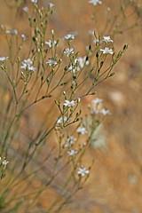 CAB018656a (jerryoldenettel) Tags: flower nm wildflower sandwort caryophyllaceae caryophyllales eudicots 2013 coreeudicots sanmiguelco eremogone eremogonefendleri fendlersandwort