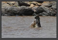 Dancing with the Devil! (Rainbirder) Tags: kenya maasaimara nilecrocodile bluewildebeest rainbirder