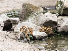 Wild boar piglets (John van Beers) Tags: zoo big thenetherlands piglet boar wildzwijn dierentuin wildboar zwijn northbrabant mierlo nuenen biggetje dierenrijk
