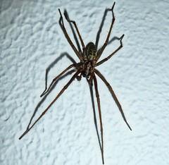 Giant House Spider (Matt Mimosa) Tags: hairy creepy fangs hairylegs longlegs tegenariaduellica gianthousespider