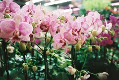 orchids (ulanalee) Tags: flowers film 35mm asia korea greenhouse seoul fujifilm southkorea  fujisuperia800  fujisuperiavenus fujiklassew