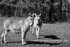 Donkey Friends (sarahannafordphotography) Tags: friends shadow field forest spring farmers donkey farmer treeline