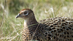 Pheasant (Simon Watling) Tags: