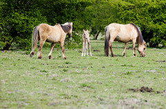 Foal between father and mother (inekehuizing) Tags: horses nature landscape spring natuur lelystad landschap paarden voorjaar koniks oostvaarderplassen inekehuizingfotografie