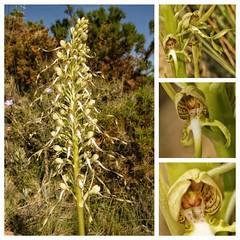 Himantoglossum hircinum (alcedofoto.) Tags: