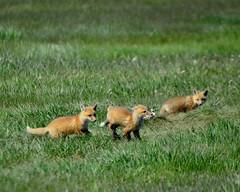 fox DSC_2413 (mikegkelly65) Tags: