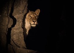 Young lioness caught in the spotlight (tickspics ) Tags: africa iucnredlistvulnerable lion pantheraleo southluangwa zambia luangwavalley