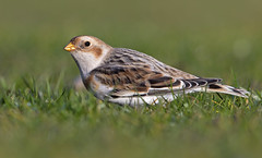 Snow Bunting (oddie25) Tags: canon 1dx 600mmf4ii bunting snowbunting rarebird bird nature wildlife england southsea