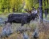 Glaring Eye & Tongue Hanging Out Means Moose Rut Is On...Jackson Hole Wyoming (Hawg Wild Photography) Tags: moose wildlife nature animal animals jacksonholewyoming grand teton tetons national park terrygreen nikon nikon200400vr d810 hawg wild photography