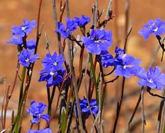 Blue - Love the colour! (zad53) Tags: wildflower australia blue saveearth