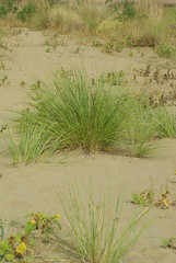 Ammophila arenaria (Fabio.Buoso) Tags: vallevecchiasic psammofile dune vegetazione pioniera ammophila arenaria spiaggia