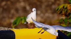 Thank you very much (Yasmine Hens) Tags: mouettes seagull birds hensyasmine namur belgium wallonie europa aaa  belgique blgica    belgio  belgia   bel be saariysqualitypictures