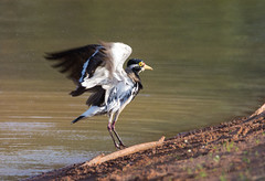 Banded Lapwing after taking a bath (Keefy2014) Tags: banded lapwing vanellus tricolor