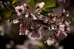 Cherry Blossom Bokeh 4 (C & R Driver-Burgess) Tags: blossom spring bokeh twigs leaves sunshine